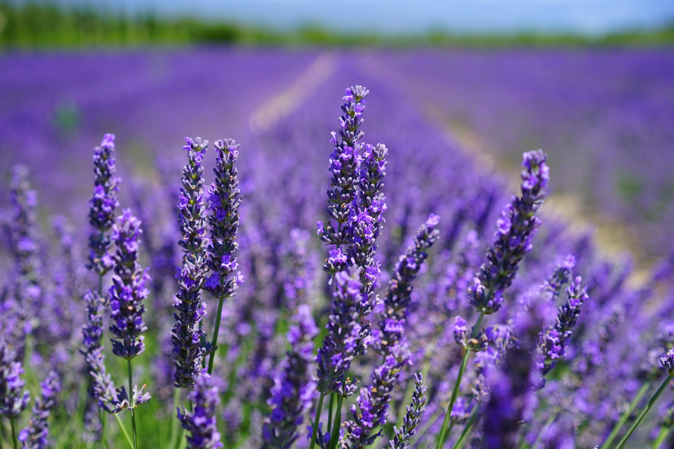 petal lavendel